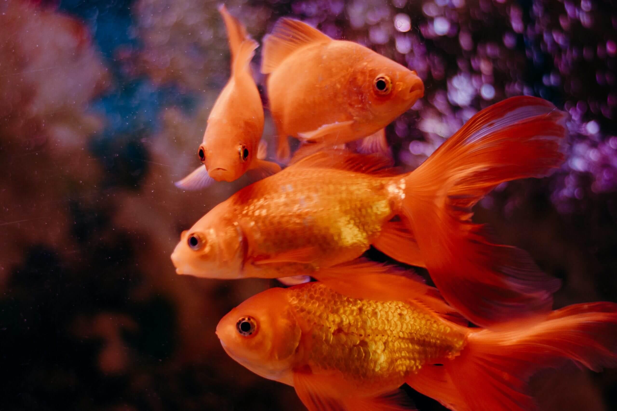 Vista de varios peces Golfish: Raza de peces.