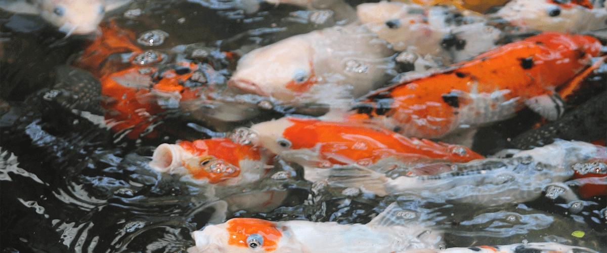 Vista de varios peces alimentándose: Cómo hacer comida casera para peces.