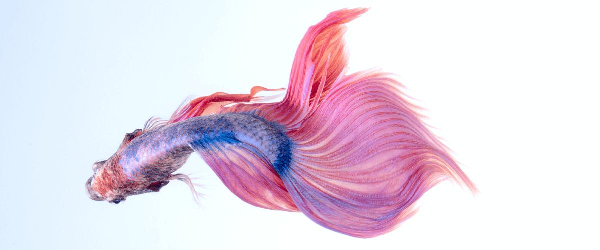 Vista desde arriba de un pez Betta: Guía de cuidados de un pez Betta.