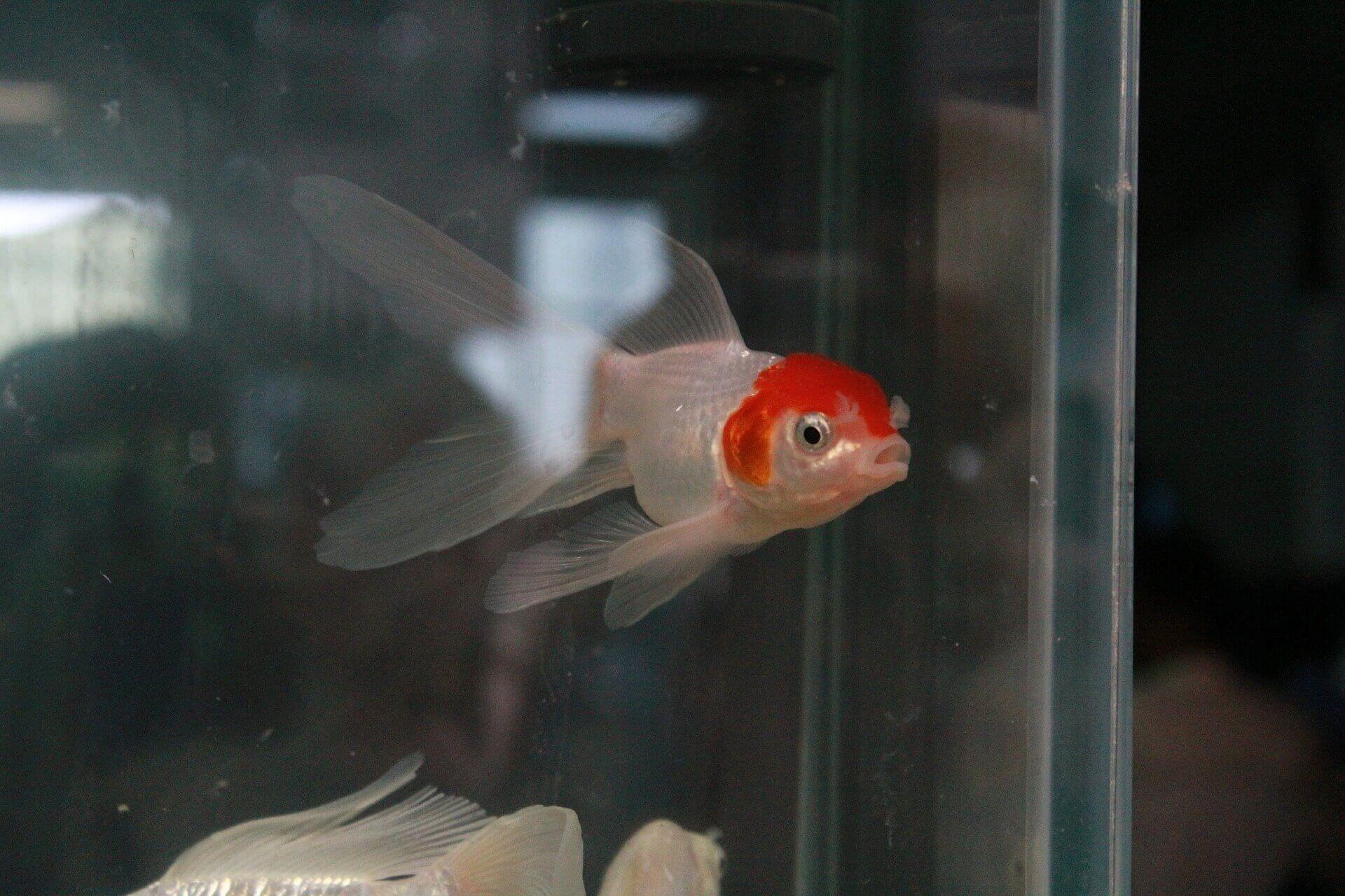 gold-fish-pecera