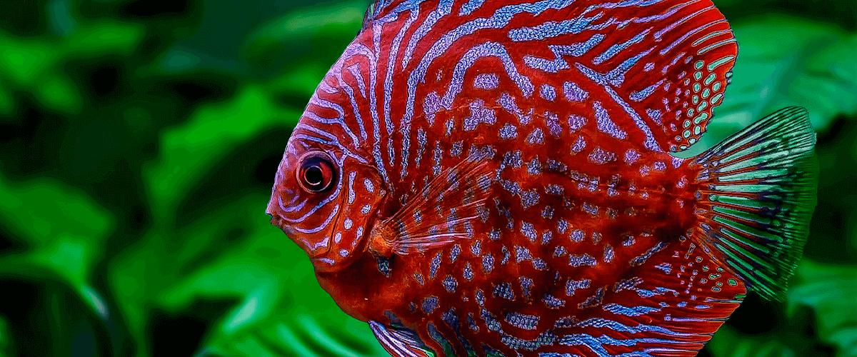cuidados-del-pez-disco