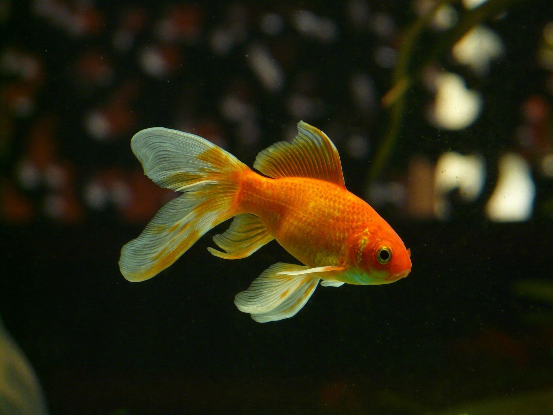 pez-goldfish-en-acuario