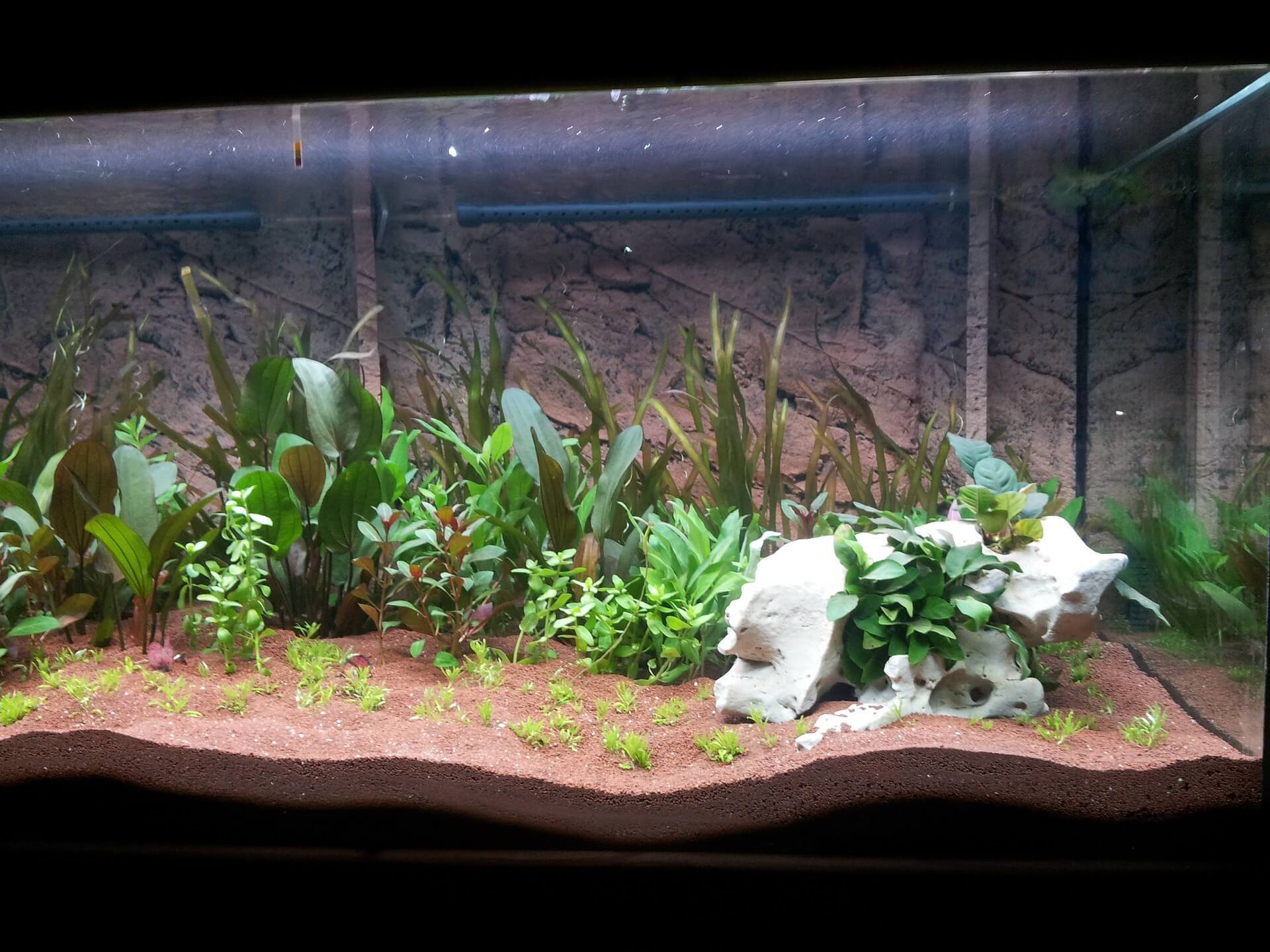 plantas-acuarios-goldfish