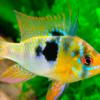 Todo lo que debes saber sobre los peces cíclidos