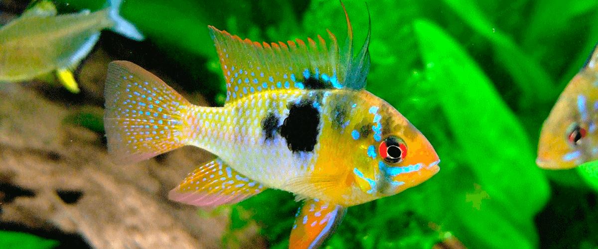 que-son-los-peces-ciclidos los peces ciclidos