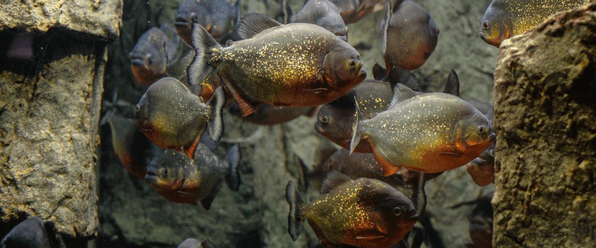 Vista de unas pirañas de acuario.