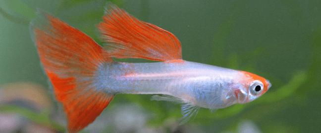 pez-guppy-acuario-pequeño