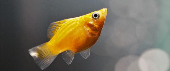 pez-molly-acuario-pequeño