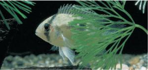 Vista de un pez Aequidens: Peces cíclidos.