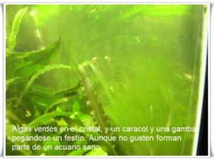 Vista de algas unicelulares.
