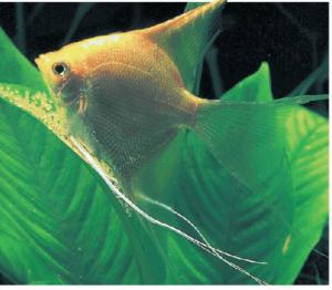 Vista de un pez Escalar o pez Ángel: Peces cíclidos.