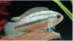 Vista de un pez Nannacara: Peces cíclidos.