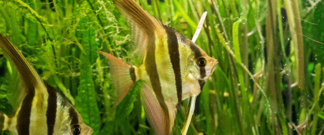 peces-ciclidos-pez-angel