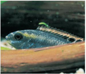 Vista de un pez Pelvicachromis: Peces cíclidos.
